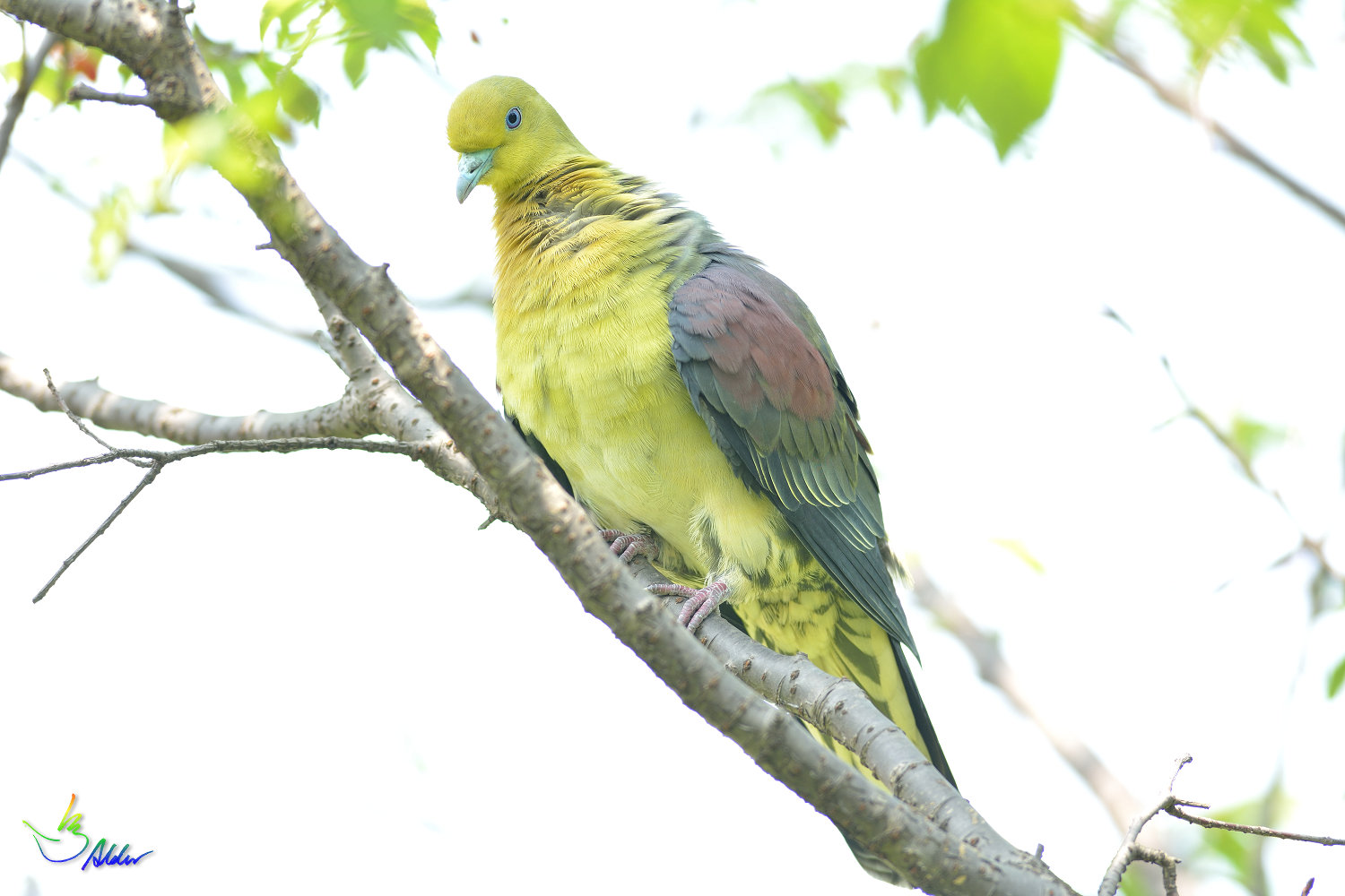 White-bellied_Green_Pigeon_5881