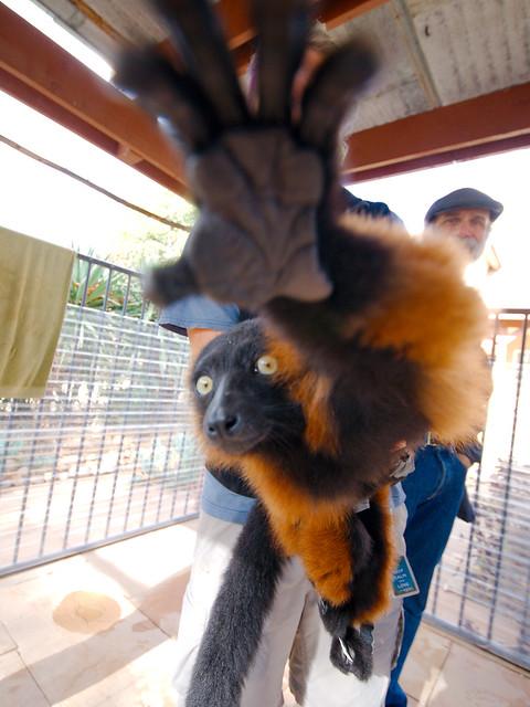 Lemur_36