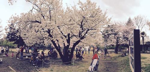 お花見 菅刈公園 2016.4.3