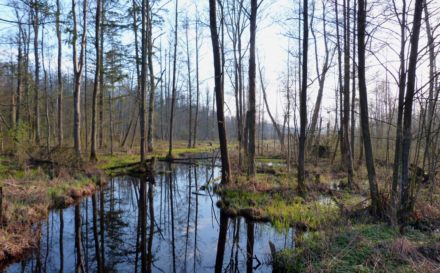 Bialowieza WBWP habitat