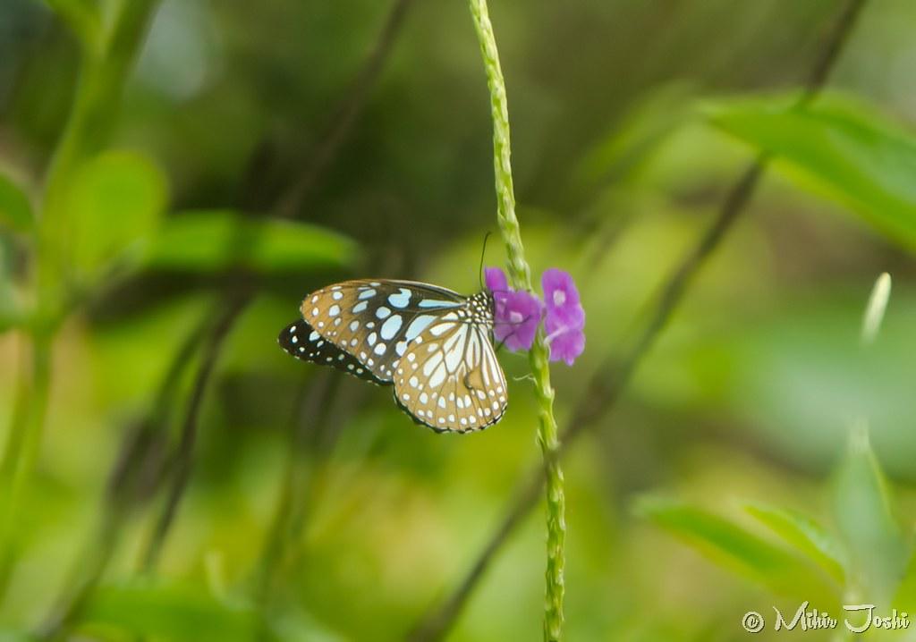 Blue Tiger [Tirumala limniace]