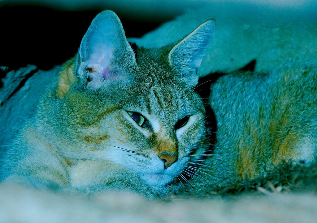 African Wildcat (Felis silvestris lybica)_7