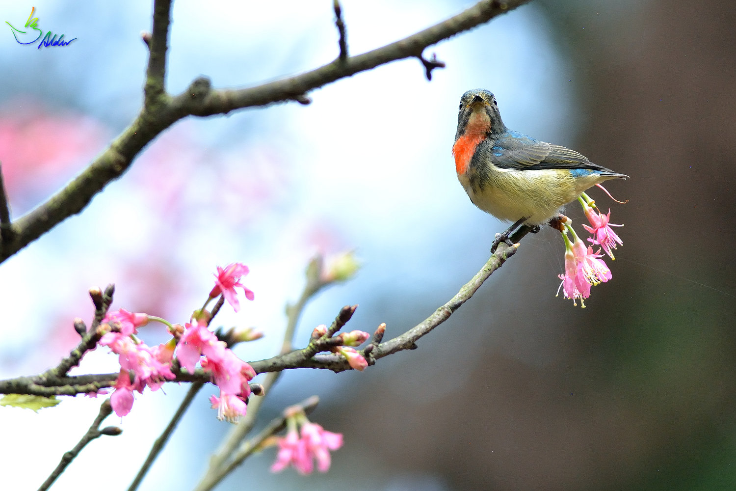 Fire-breasted_Flowerpecker_1823