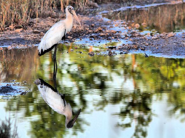 Wood Stork HDR 04-20160405