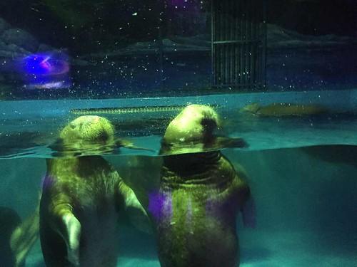 Walrus calves at Grandview Aquarium