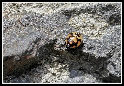 Larve de Tritomegas bicolor ( punaise) (2)