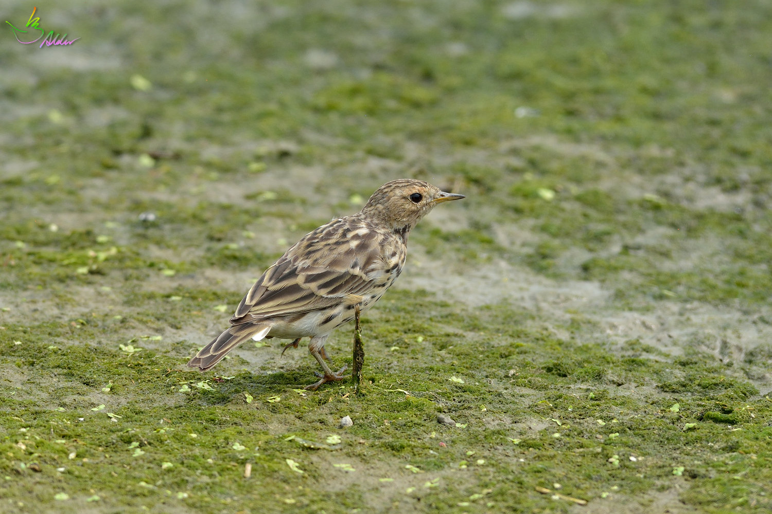 Red-throated_Pipit_3439
