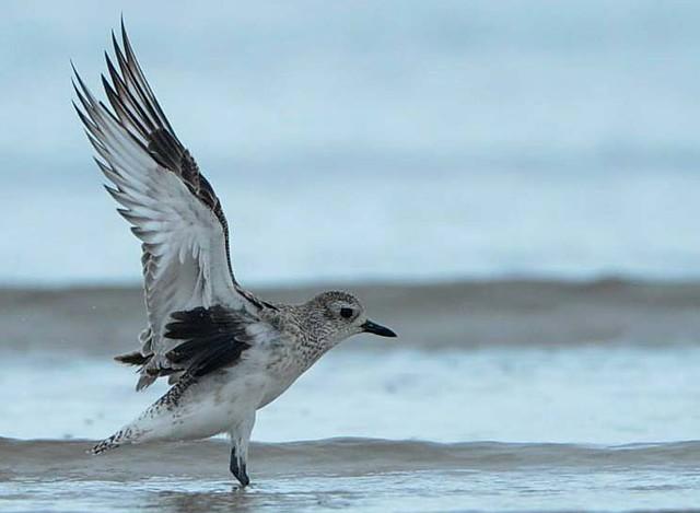 grey-plover