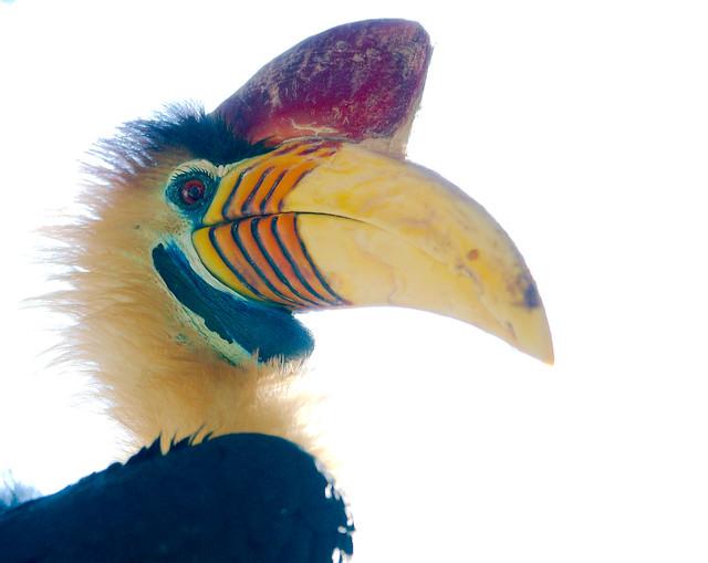 Knobbed Hornbill (Rhyticeros cassidix)