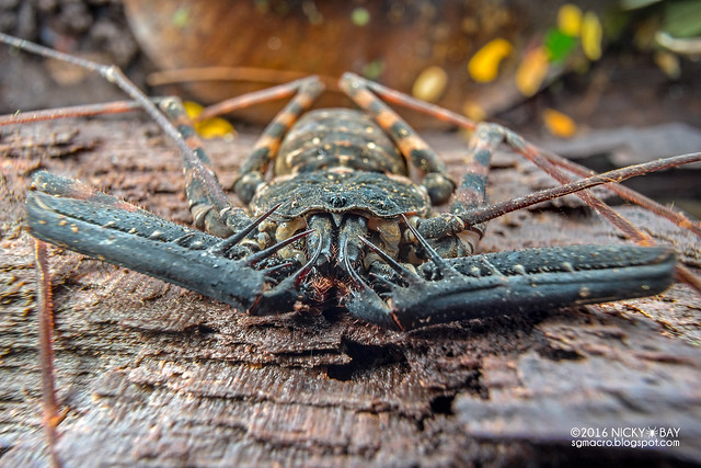 Tailless whip scorpion (Charon sp.) - DSC04011