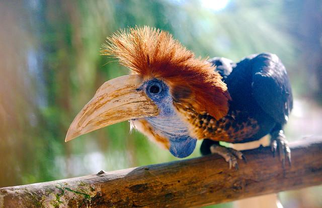 Wrinkled Hornbill (Aceros corrugatus)_3
