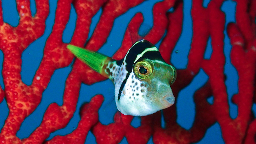 Toby fish
