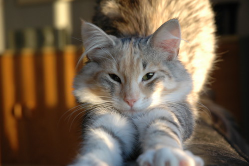 Good Morning Everyone In Norwegian : Good morning wendy norwegian forest cat silver tortie