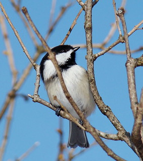 My Camera Loves Chickadees | by vtpeacenik