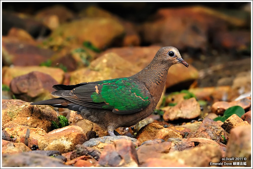 Emerald Dove | by oLDcaR