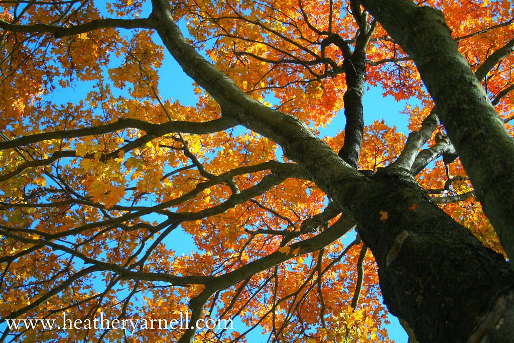 Raytown Fall Tree