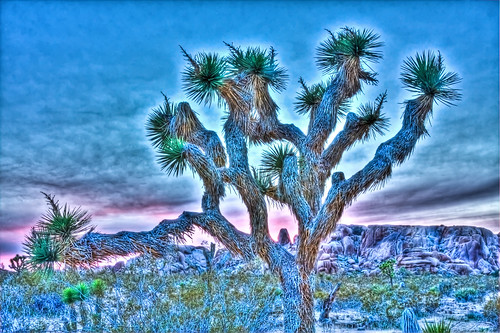 Joshua tree grunge sunset. | by GMills31