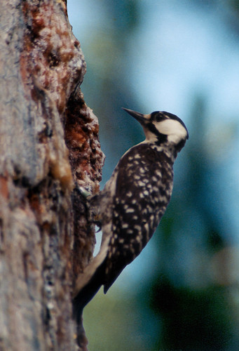 Southeast us red cockaded woodpeckers are protected on for Us fish and wildlife service jobs