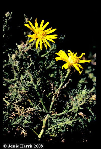 Machaeranthera pinnatifida ssp. pinnatifida-JH6882 | by BONAP