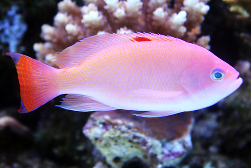 Anthias | by Sue Hashim