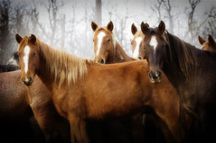 gathering mares 333 | by Ree Drummond / The Pioneer Woman