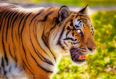 Eye of the Tiger | by Michael Pancier Photography