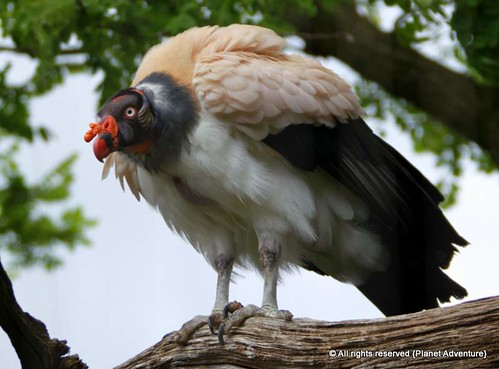 King Vulture | by { Planet Adventure }