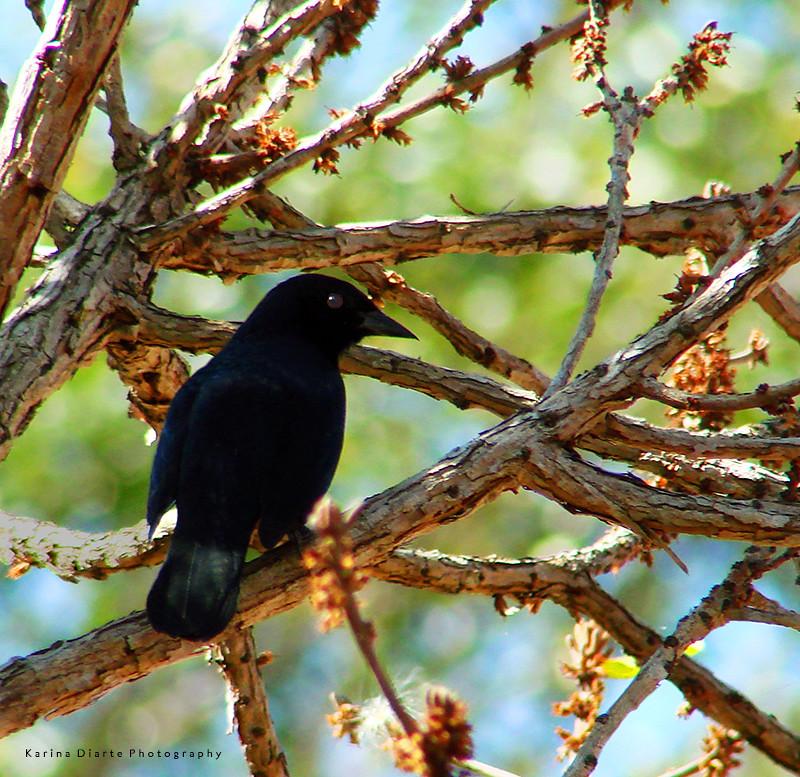 Tordo Renegrido / Shiny Cowbird