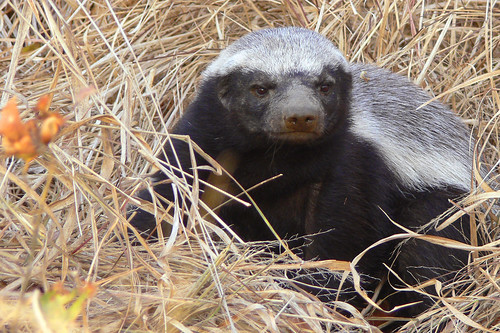 Ratel (Mellivora capensis) or Honey Badger | by Arno Meintjes Wildlife