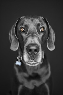 A Blue Great Dane Named Butler | by Back in the Pack