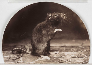 'Mr and Mrs Rattus: Old English Black Rat' | by National Media Museum