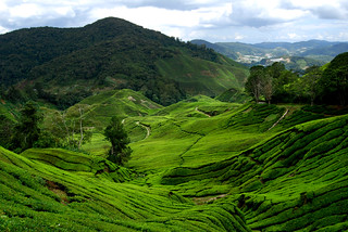 BOH tea plantation | by Steven Wong (ATKR)