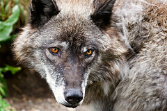 Eyes of the wolf - Discovery Center | by WSK_2005