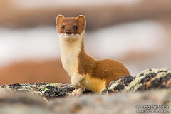 Ermine | by Judd Patterson