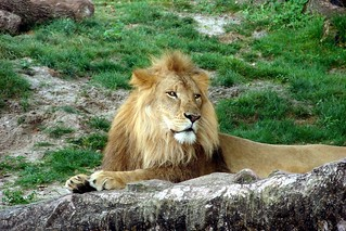 Lion at rest | by johnkostick