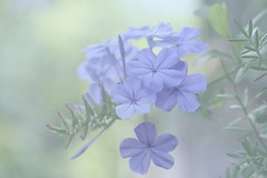 Plumbago mystery in the mist .... periwinkle blue in the fog ... | by Ewa Ciebiera 2 millions visits