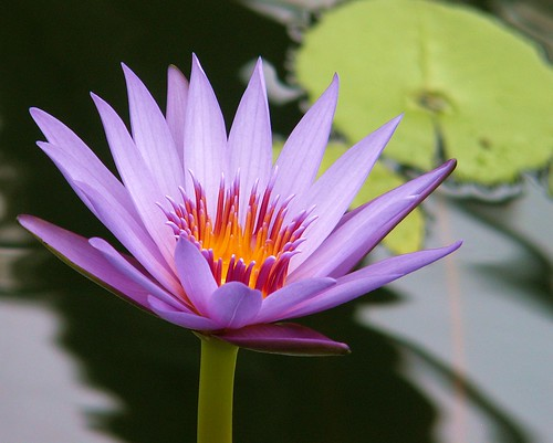 Water Lilly | by Cheeky Mango