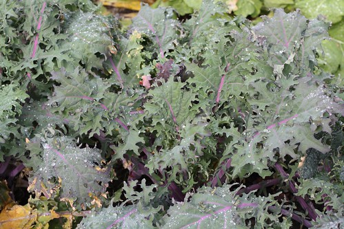 red Russian kale  Flickr - Photo Sharing!