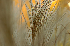 Ornamental grass | by Buddy Garden