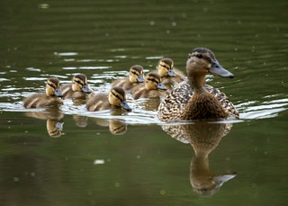 Mother and Baby Ducks | by Mike's Birds