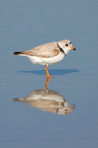 Piping Plover | by hjhipster