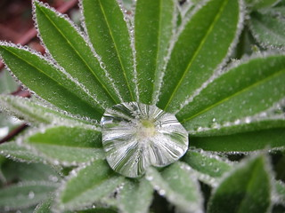 Dewdrops on lupine | by greenwalksblog