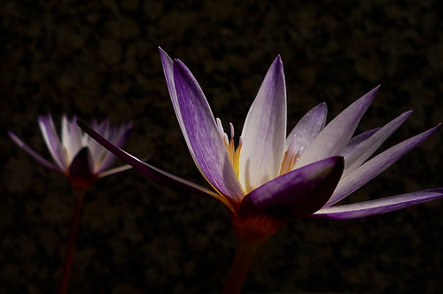 Water Lily | by InkHong