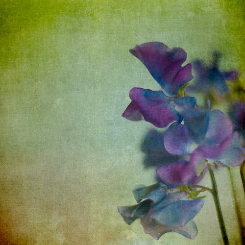 Sweet Pea | by borealnz