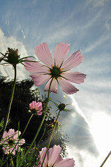 2009-1129 (7030) Cosmos | by jenniferphoon