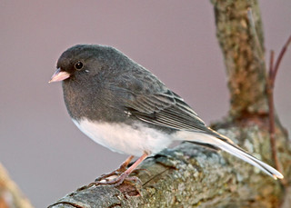 Dark-eyed Junco  Day 8/365 | by ehpien