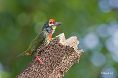 Coppersmith Barbet | by markrgli