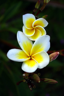 Champa Flower, Cambodia | by The Hungry Cyclist
