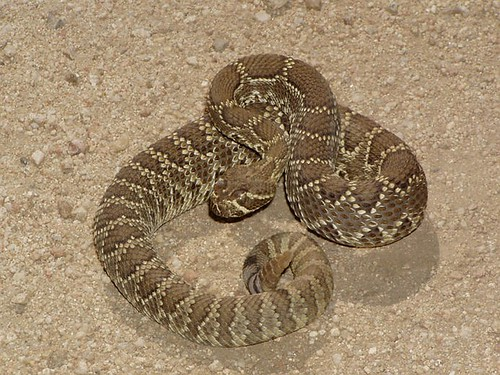 mojave_rattlesnake | by snake_lover_billy_snakehawk