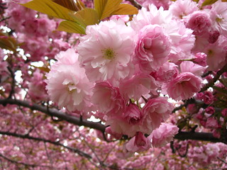 Flowering Cherries | by Brooklyn Botanic Garden